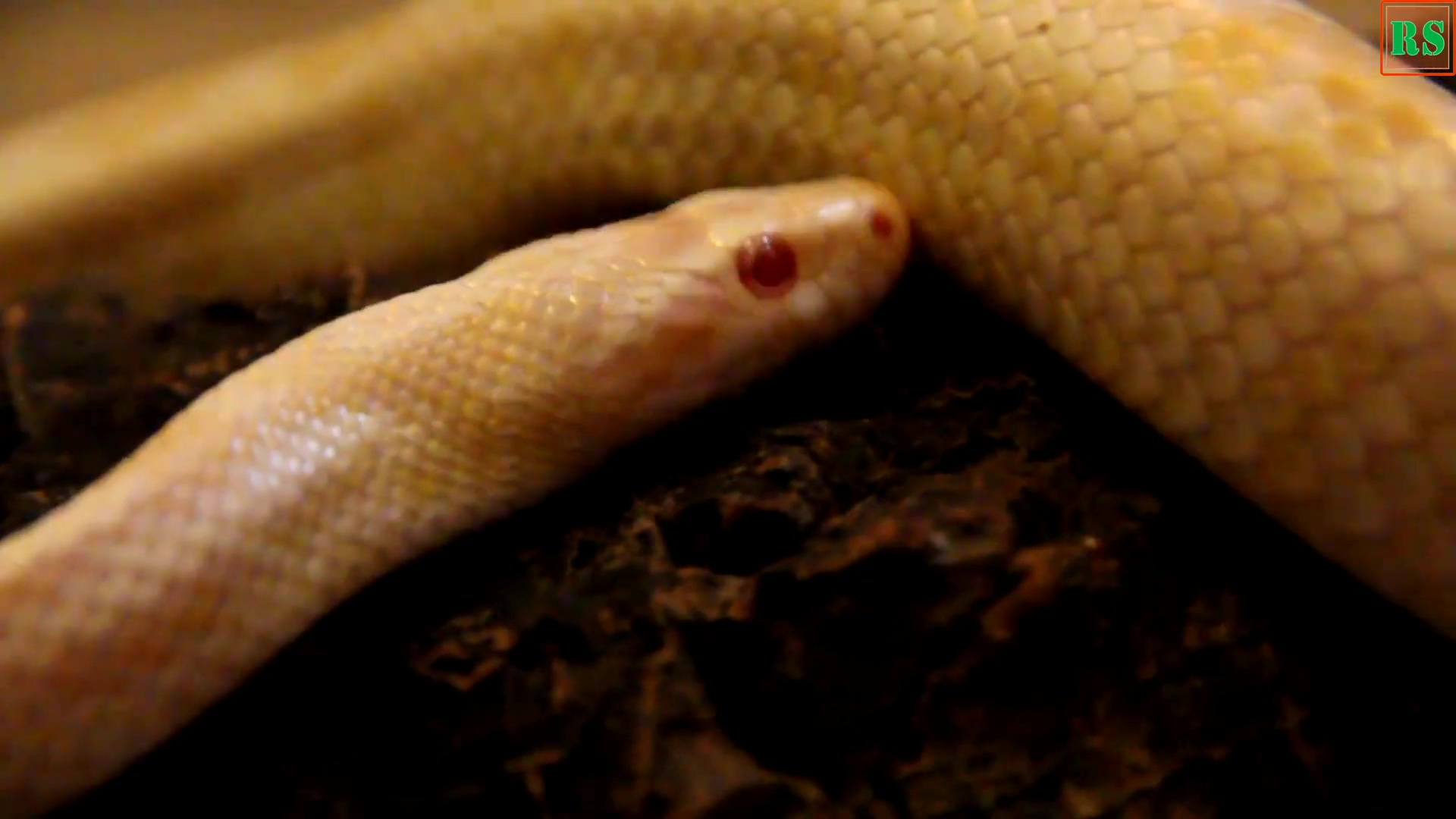 白化蛇-视频素材