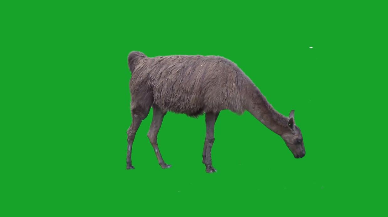 绿色屏幕上的羊驼-视频素材